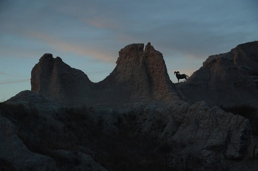 Mountain Sheep – Badlands
